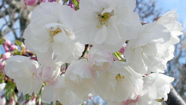 Fiore_cerisier_japonais