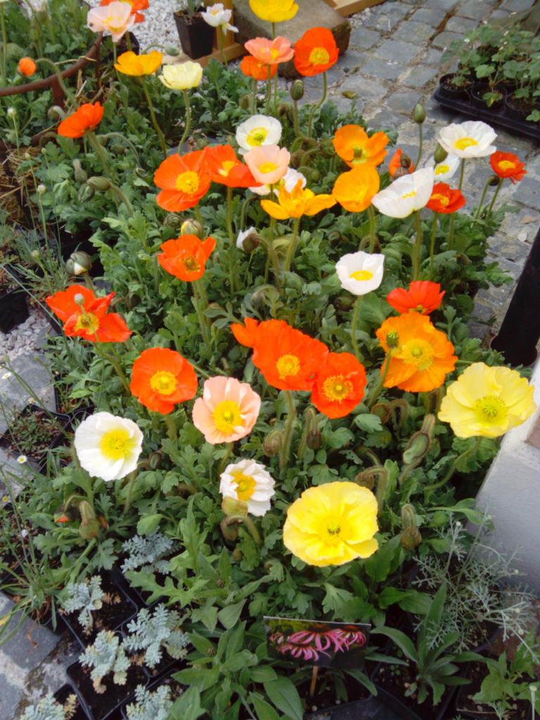 fiori-colorati
